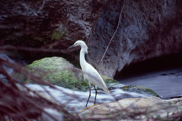 Wall Art - Photograph - Snowy Egret by Soli Deo Gloria Wilderness And Wildlife Photography