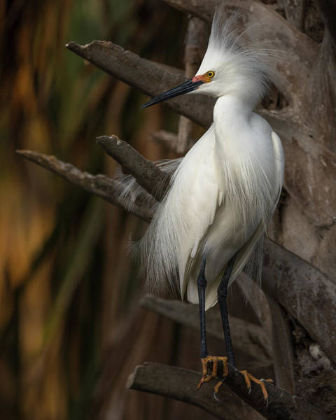 Photograph - Snowy Egret by Stacey Sather