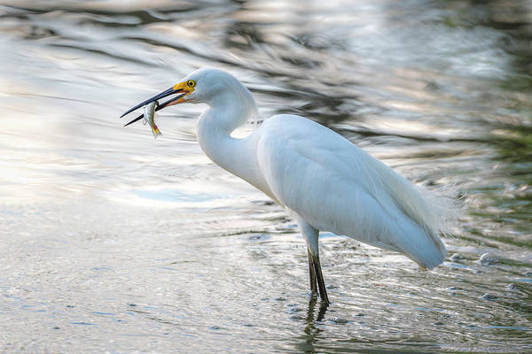 Snowy Egret With Dinner Art Print