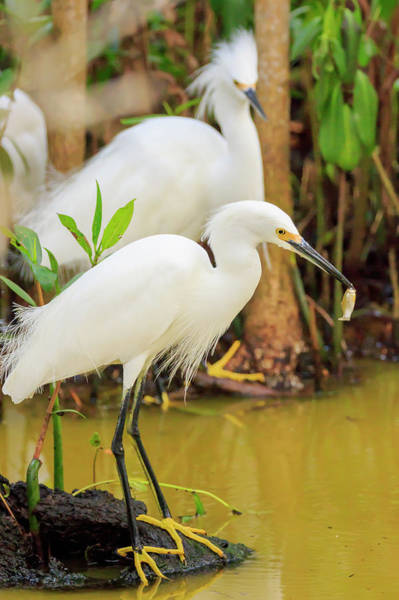 Ding Photograph - Snowy Egret With Fish, Ding Darling by William Sutton