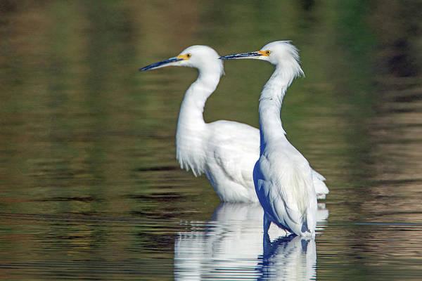 Photograph - Snowy Egrets 3250-120318-1 by Tam Ryan