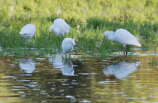 Photograph - Snowy Egrets 3333-100818-1cr by Tam Ryan