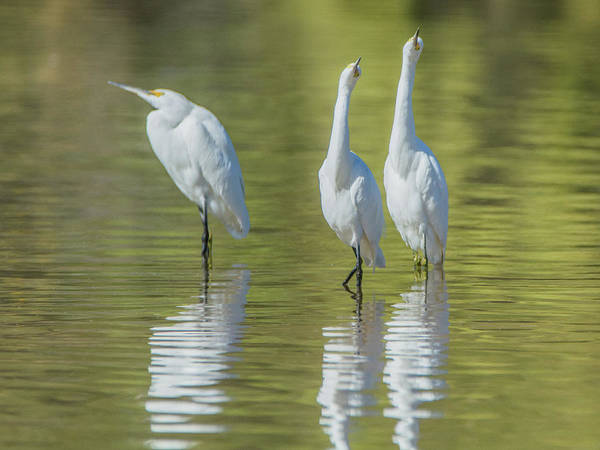 Photograph - Snowy Egrets 7637-110118-1cr by Tam Ryan