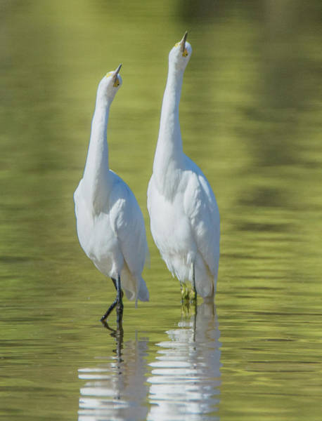 Photograph - Snowy Egrets 7637-110118-2cr by Tam Ryan