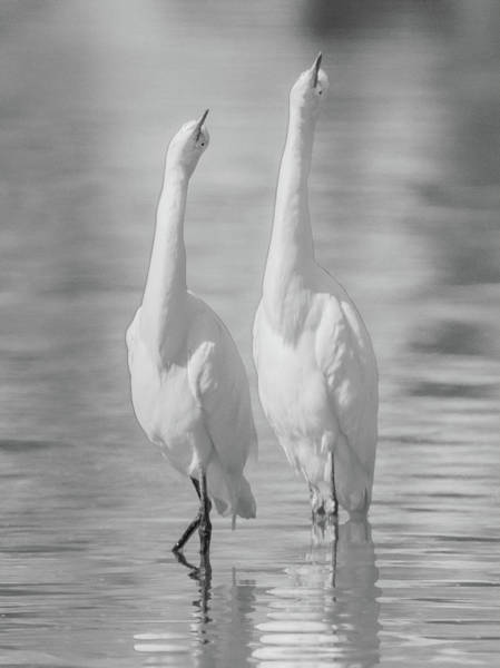 Photograph - Snowy Egrets 7637-110118-4cr-bw by Tam Ryan