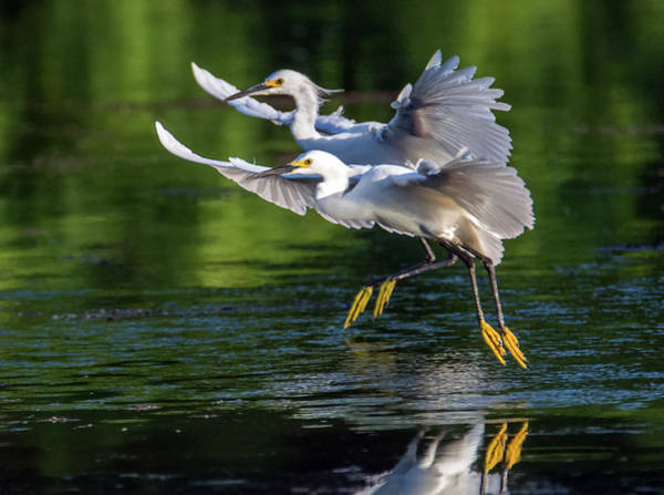 Photograph - Snowy Egrets 8233-061819 by Tam Ryan
