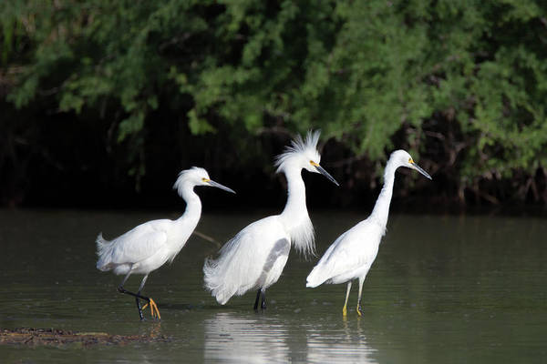 Photograph - Snowy Egrets 8960-050219 by Tam Ryan