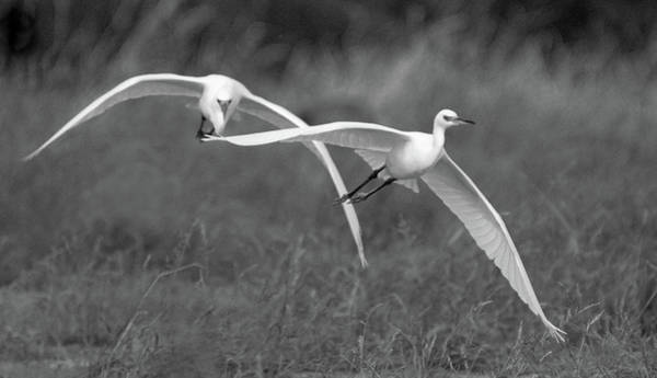 Photograph - Snowy Egrets 9390-111118-2cr-bw by Tam Ryan