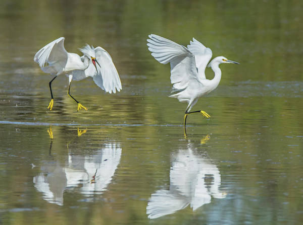 Photograph - Snowy Egrets Chase 0762-111718-1cr by Tam Ryan