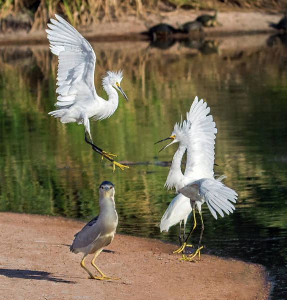 Photograph - Snowy Egrets Fight 7423-061619 by Tam Ryan