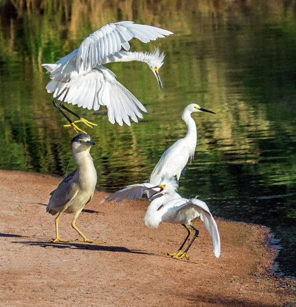 Wall Art - Photograph - Snowy Egrets Fight 7424-061619 by Tam Ryan