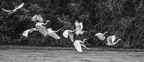 Photograph - Snowy Egrets Flight 4110-101218-3cr-bw by Tam Ryan