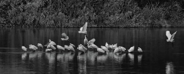 Photograph - Snowy Egrets Liftoff 1801-012018-1-bw by Tam Ryan
