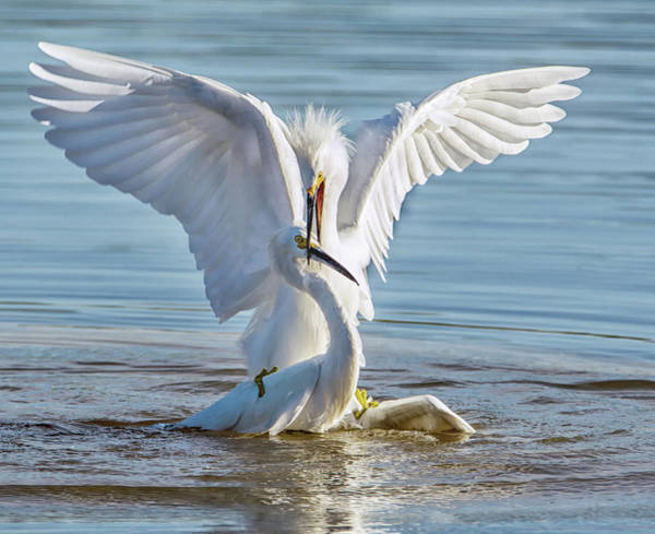 Photograph - Snowy Egrets 3174-120318-1cr by Tam Ryan