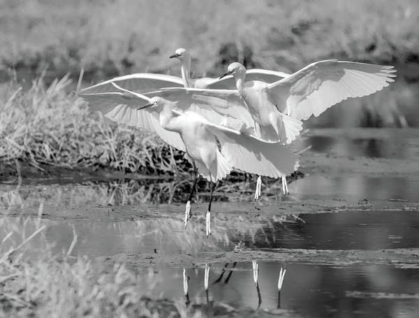 Photograph - Snowy Egrets Three 0743-111718-3cr-bw by Tam Ryan