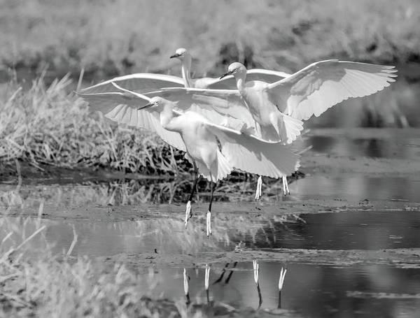 Photograph - Snowy Egrets Three 0743-111718-3cr-bw by Tam Ryan