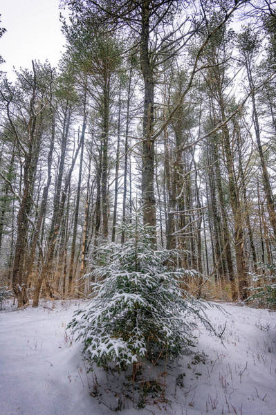 Wintry Photograph - Snowy Evergreen by Rick Berk