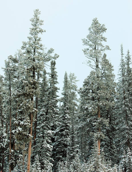 Photograph - Snowy Evergreens by Todd Klassy
