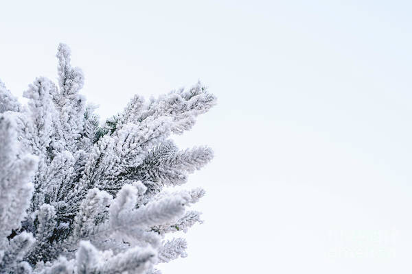 Photograph - Snowy Fir Tree Top With Pale Blue Sky Background With Space For Text. by Joaquin Corbalan