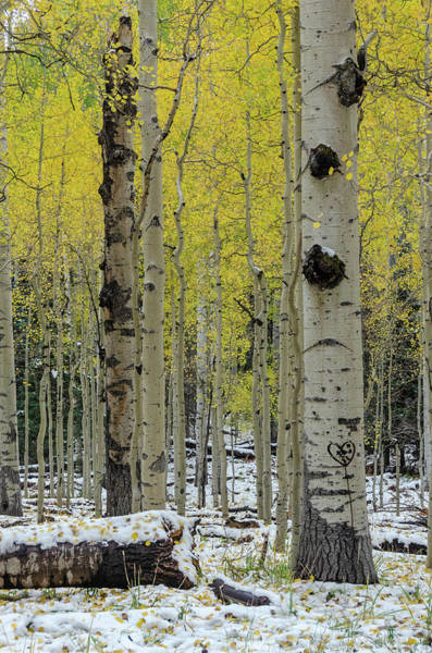 Photograph - Snowy Gold Aspen by Gaelyn Olmsted