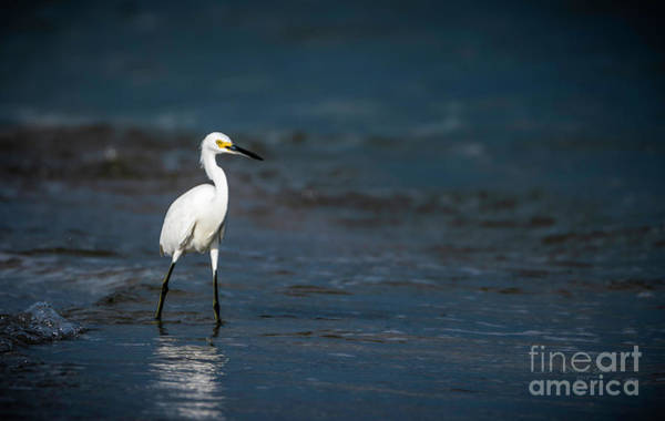 Egret Photograph - Snowy In The Surf by Marvin Spates