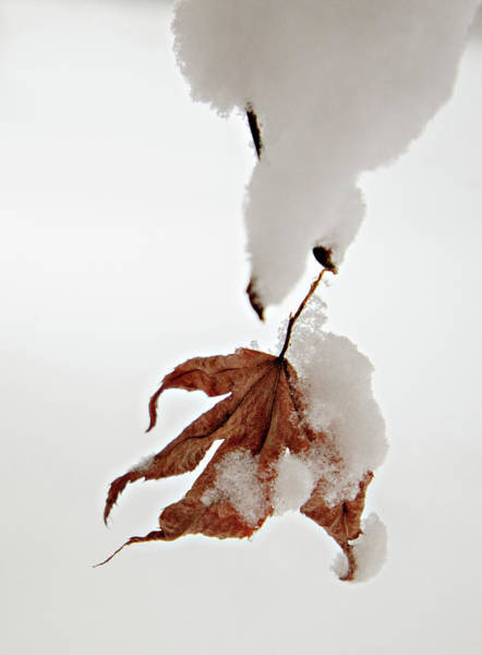 Photograph - Snowy Leaf by Mary Jo Allen