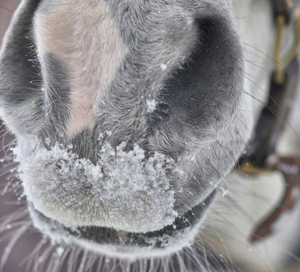 Snowy Muzzle  Art Print by JAMART Photography