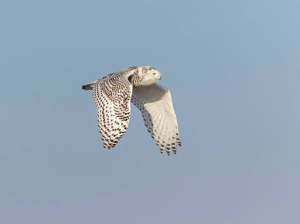 Photograph - Snowy Owl 2018-10 by Thomas Young