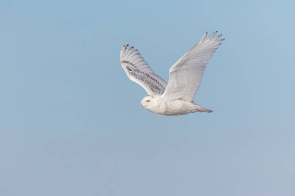 Photograph - Snowy Owl 2018-23 by Thomas Young