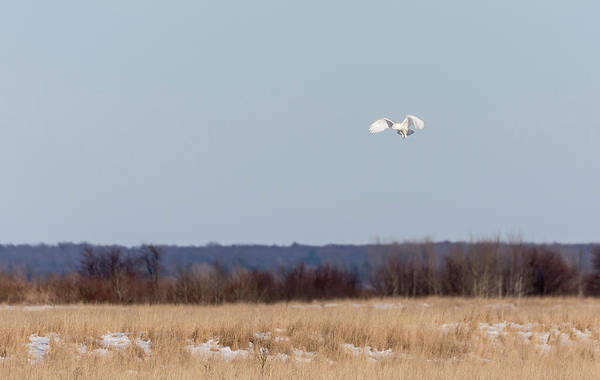 Photograph - Snowy Owl 2018-24 by Thomas Young