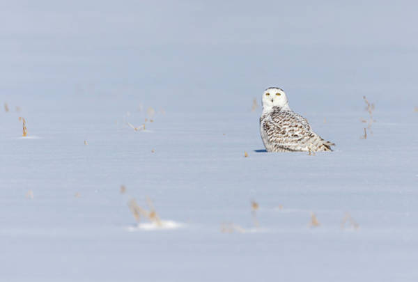 Photograph - Snowy Owl 2019-1 by Thomas Young