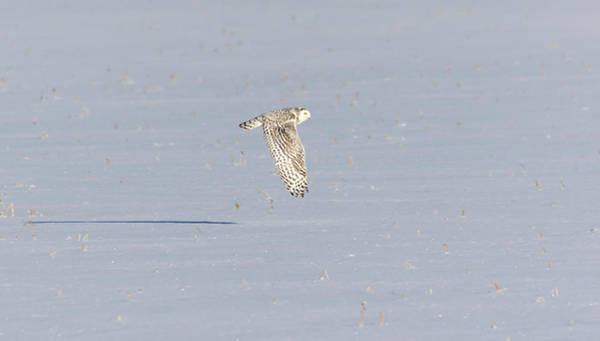 Photograph - Snowy Owl 2019-4 by Thomas Young