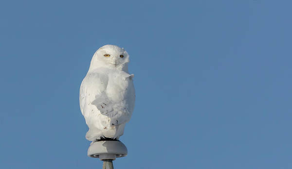 Photograph - Snowy Owl 2019-5 by Thomas Young