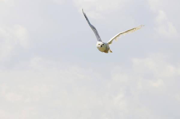 Aviary Photograph - Snowy Owl by Alesveluscek