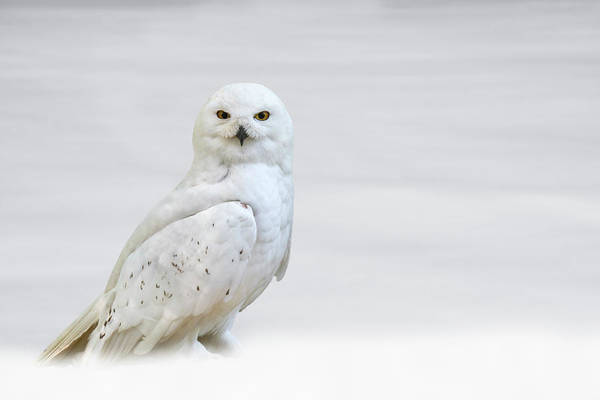 Photograph - Snowy Owl by Arterra Picture Library