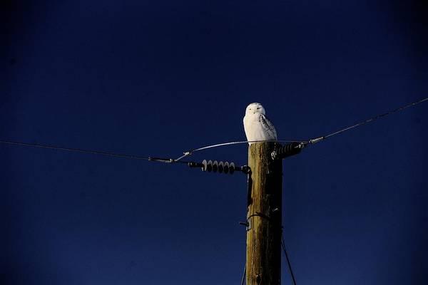 Photograph - Snowy Owl by David Matthews