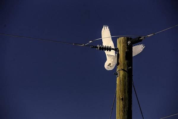 Photograph - Snowy Owl Dive by David Matthews