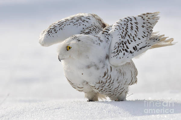 Wise Wall Art - Photograph - Snowy Owl Flap Wings by Stanislav Duben