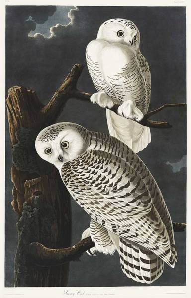 Wall Art - Painting - Snowy Owl From Birds Of America 1827 By John James Audubon 1785 - 1851 , Etched By Robert Havell by John James Audubon