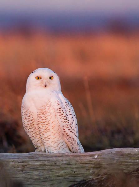 Art In Canada Photograph - Snowy Owl, George C. Reifel Bird by Mint Images/ Art Wolfe