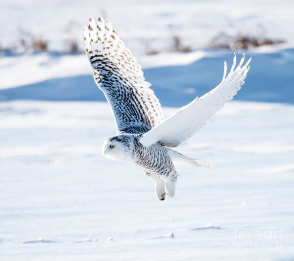 Wall Art - Photograph - Snowy Owl In Flight by Fotorequest