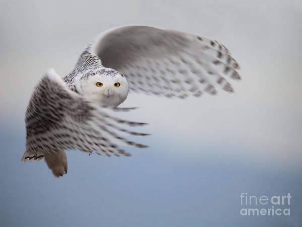 Wall Art - Photograph - Snowy Owl In Flight by Tom Middleton
