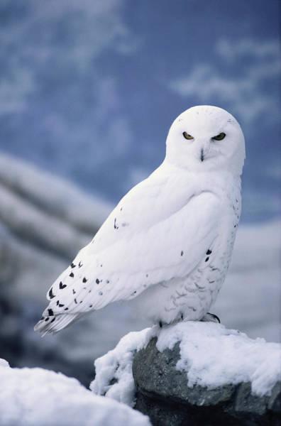 Snow Photograph - Snowy Owl Nyctea Scandiaca Perching On by Alan And Sandy Carey