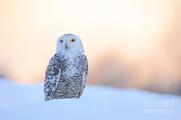 Wise Wall Art - Photograph - Snowy Owl, Nyctea Scandiaca, Rare Bird by Ondrej Prosicky