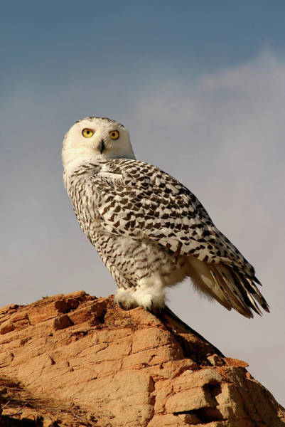 Snowy Owl On A Bluff Art Print