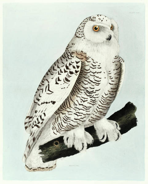 Owl Painting - Snowy Owl by Prideaux John Selby