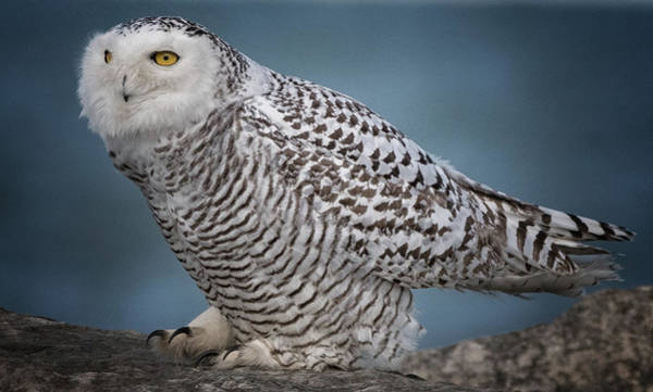 Photograph - Snowy Owl  by Richard Kopchock
