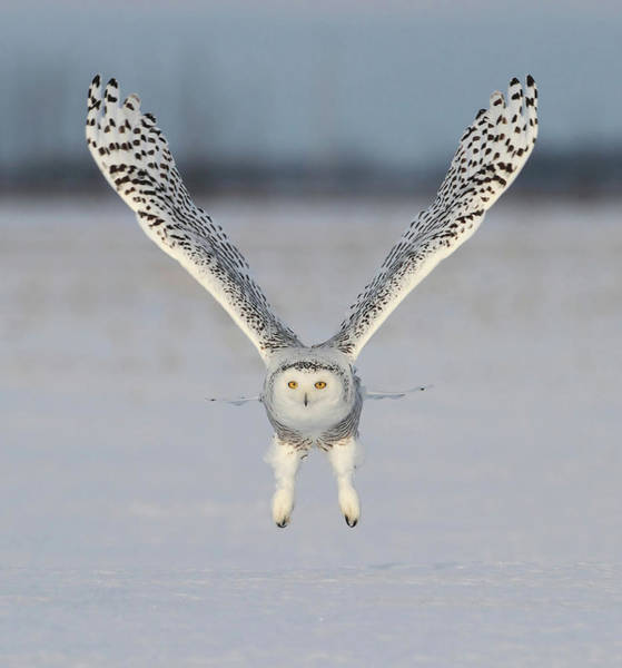Taking Off Photograph - Snowy Owl Take Off by Image By David G Hemmings