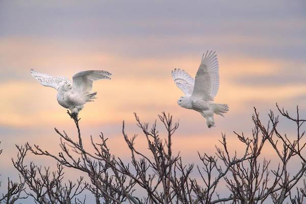Wall Art - Photograph - Snowy Owls At Sunrise by James Zipp