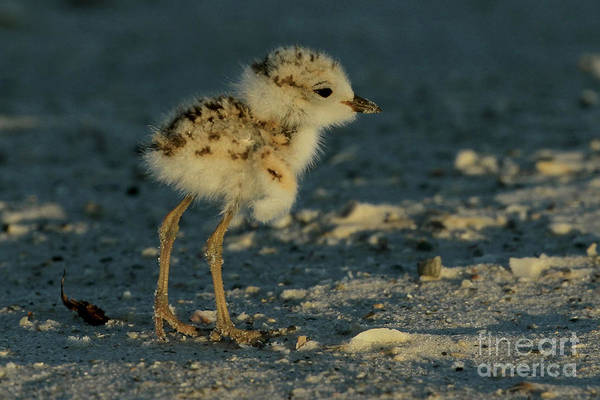 Photograph - Snowy Plover Chick by Meg Rousher